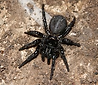 Female Funnel Web Spider