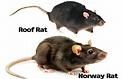 Roof Rat & Norway Rat