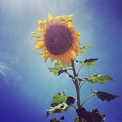 biggest sunflower I've ever seen #sunflo