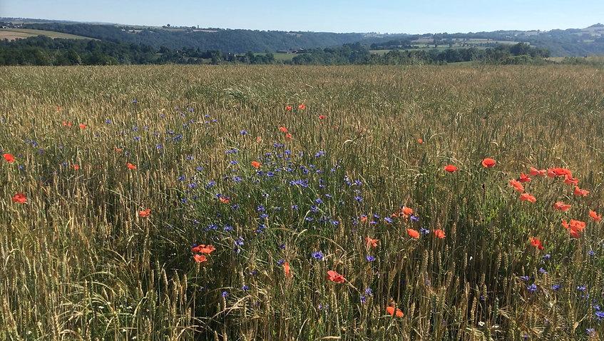 champs fleurs pampelonne.jpg