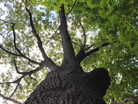 Canopy Committee & the Media Oak Tree Challenge