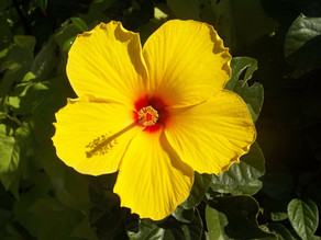 Yellow Hibiscus: Did You Know?