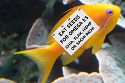 goldfish with sign for superseeds