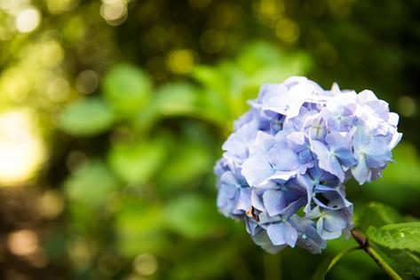 Hydrangeas blooming all summer!