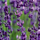 Thumbnail: Lavender Essential Oil , From Southeast Europe, Organic English Lavender