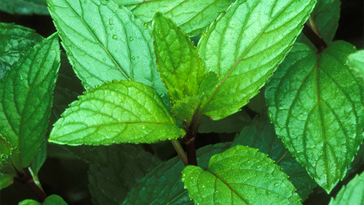 Peppermint is Refreshing, Invigorating and Cooling