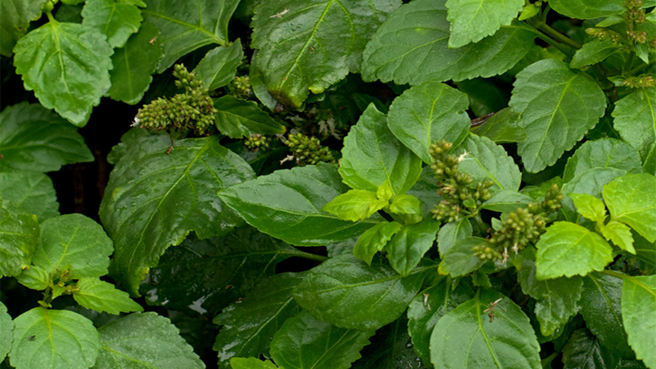 Patchouli Essential Oil the Ancient of Days