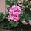 Thumbnail: Geranium Rose Essential Oil  Organic