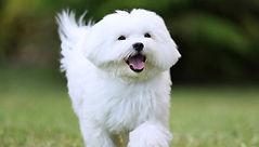dog-maltese-puppy-running-straight.jpg