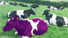What's the Meaning Behind the Purple Cow Name?