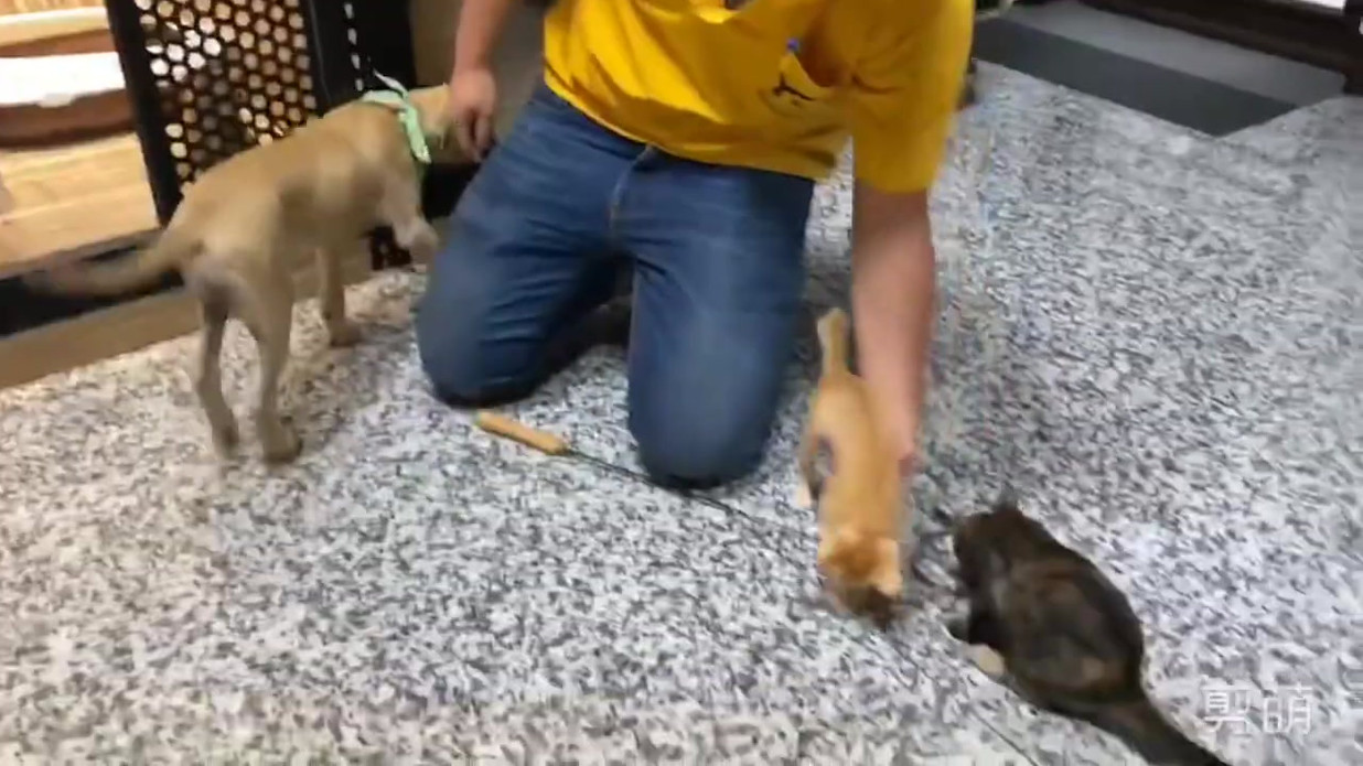 Buttercup is ok with cats 2019_11_04.mp4