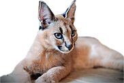 ABT.Bengals ฟาร์มเพาะพันธ์ุแมวเบงกอลและแมวเอ็กโซติก....We're EXOTIC CATS BREEDER located in bangkok, Thailand. We provide the best feline in the world such as Bengal, Caracal, Serval, F1Savannah Cat.