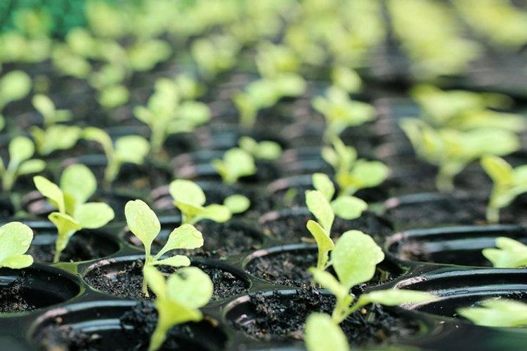 watercress Seedlings.jpg