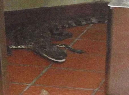 Alligator Assault?