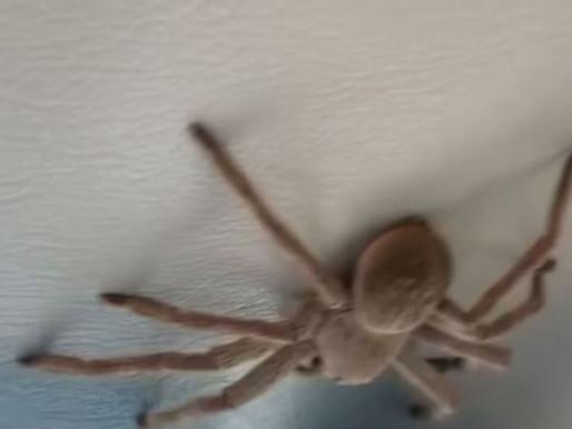 Aranha gigante cai do teto de avião enquanto piloto pousa na Austrália
