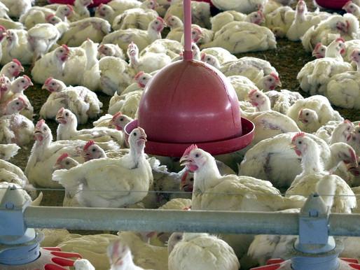 China reporta surto de gripe aviária