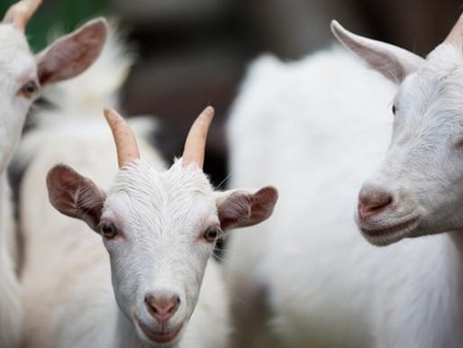 Empaer realiza dois leilões de caprinos, ovinos e bovinos