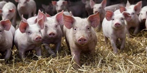 China diz que o vírus da gripe suína não é novo e não infecta humanos facilmente