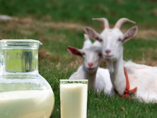 Assembleia Legislativa da Paraíba aprova inclusão do leite de cabra na merenda escolar