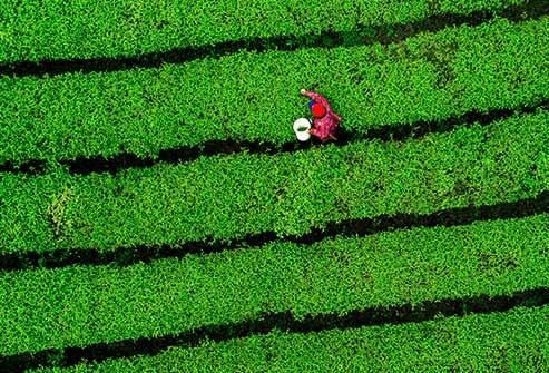 Matcha um tipo de chá verde cultivo