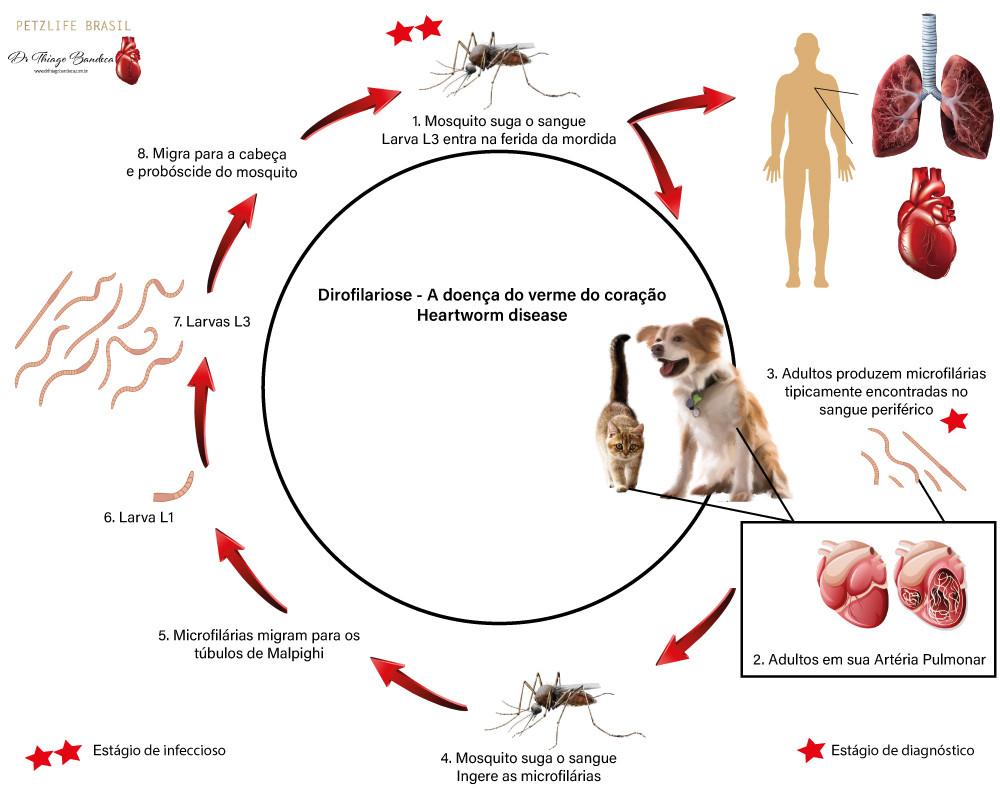 Dirofilariose ciclo de vida do parasita