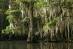 Cypress Tree in the Water