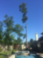 pine tree removal 3.jpeg