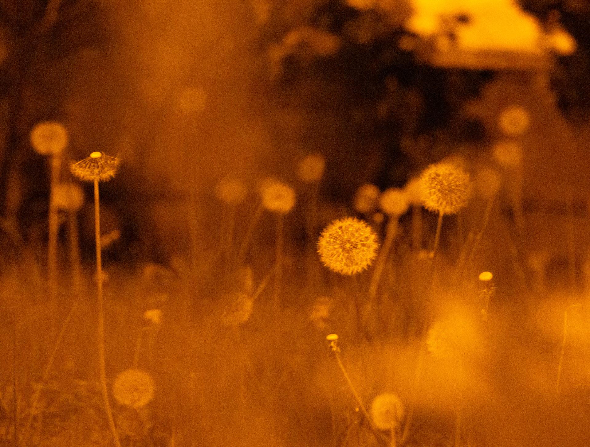 sodium - dandelions