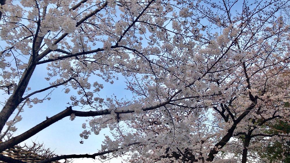 日中下見したときの桜