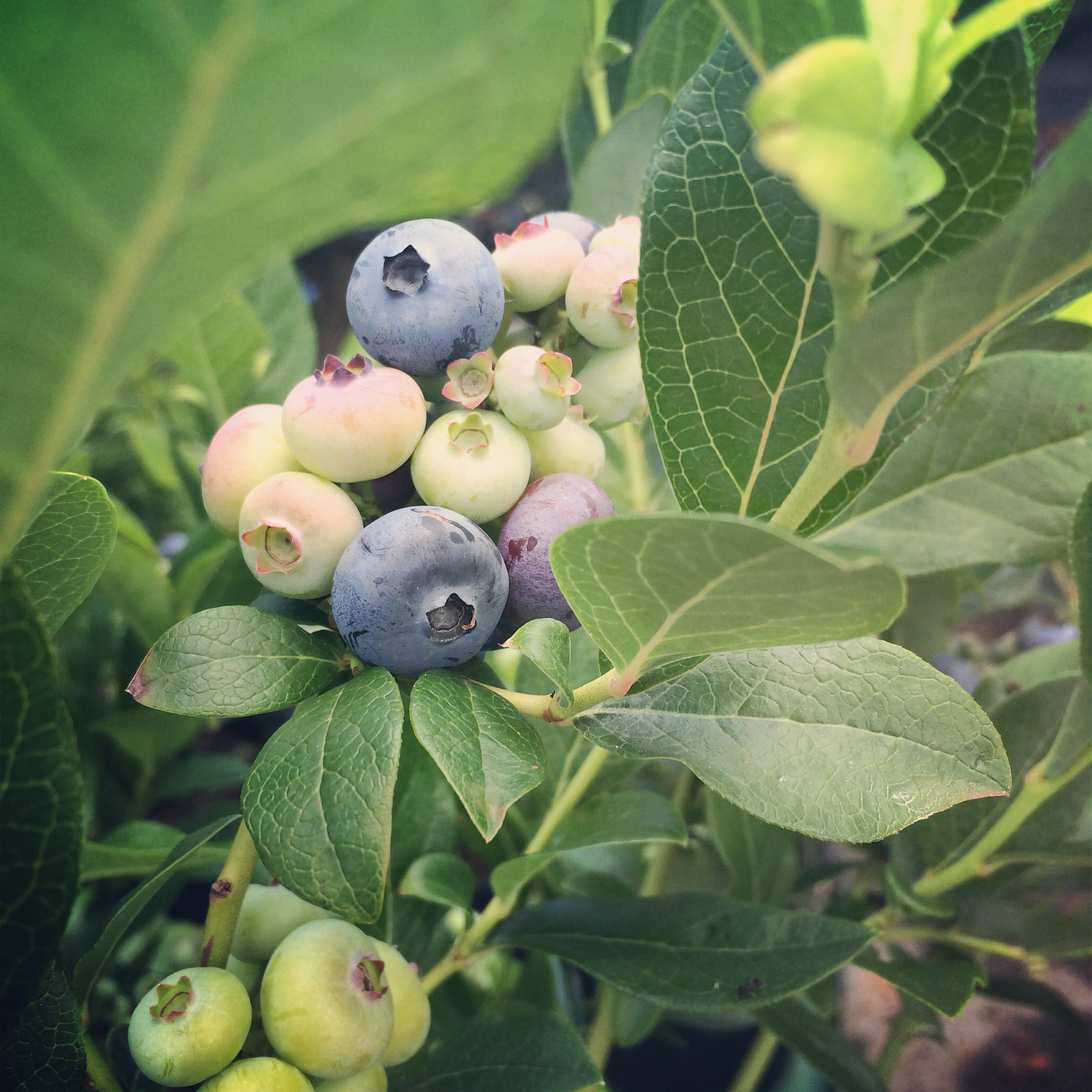 Blueberry Beauties