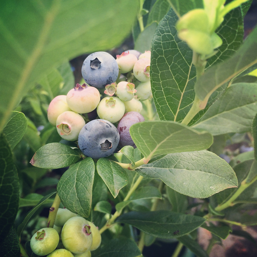 Make sure you give blueberries plenty of acid so that you get the sweetest berries!