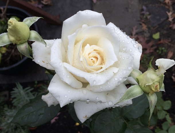 Roses are... White.png