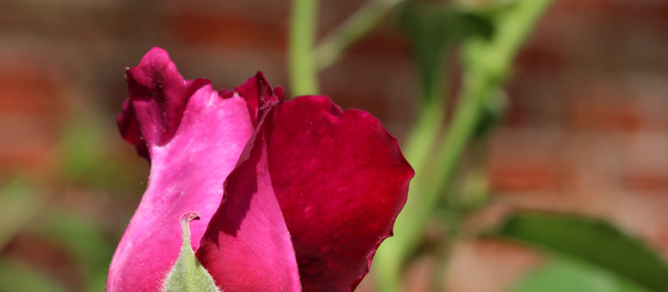 How To: Prune a Rose