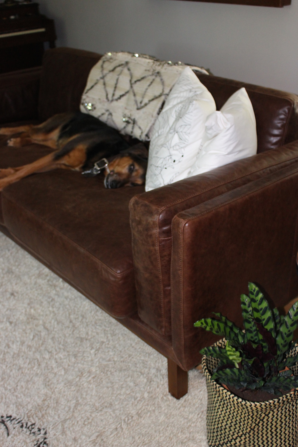 Leather Sofa for the Dog... and Us
