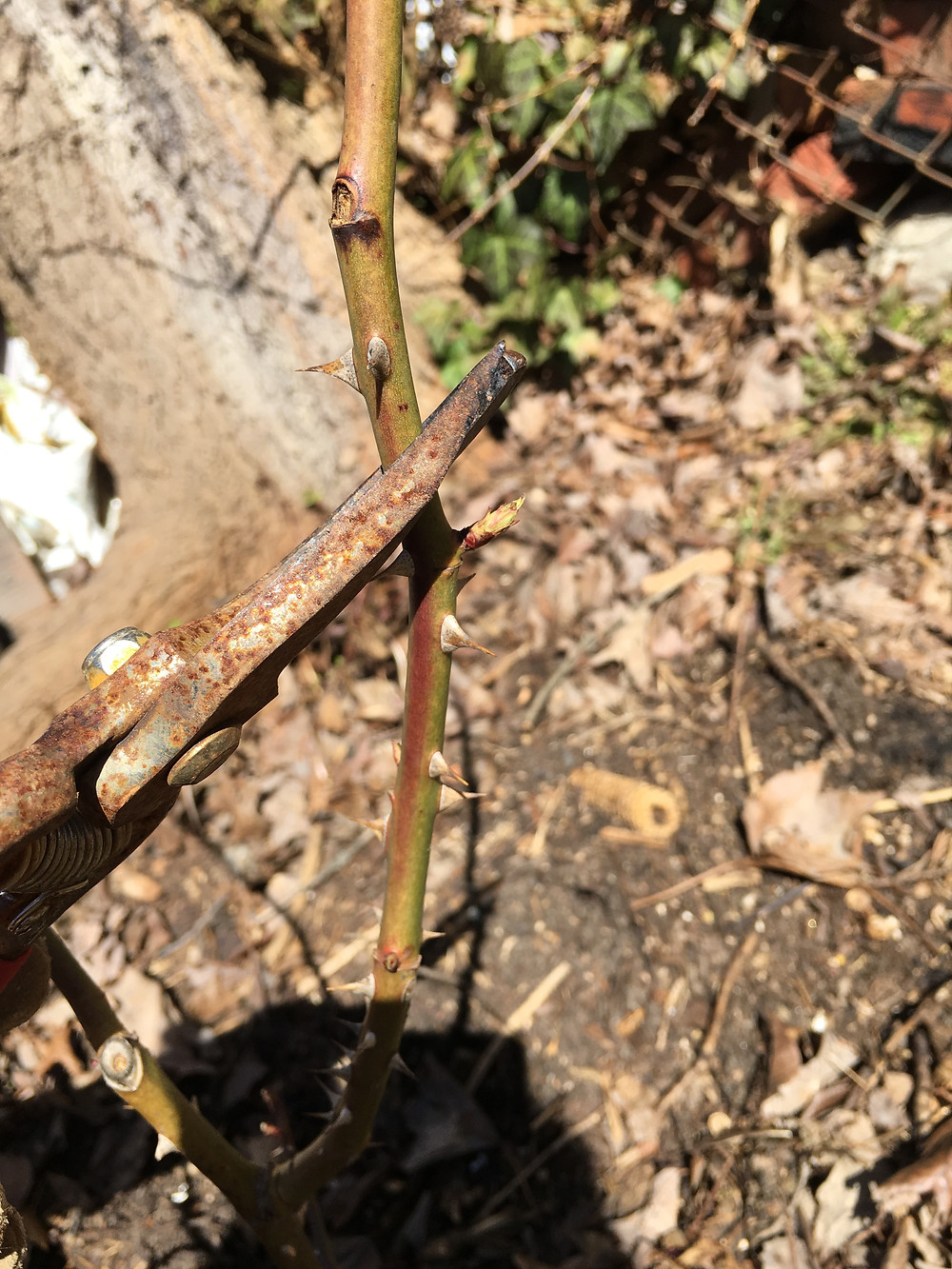 Prune at 45 Degrees to an Outward Facing Bud