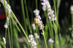 Honeybees & Lavender
