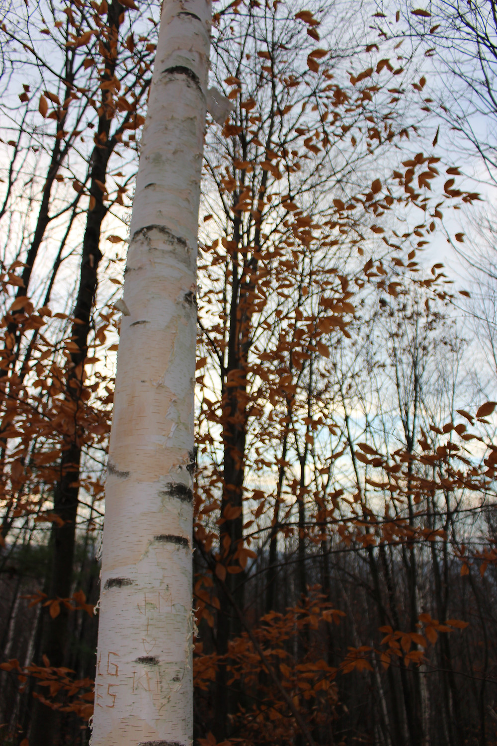 Gorgeous Birch