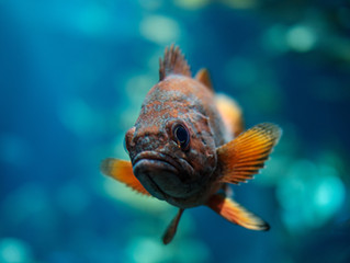New study linking wastewater discharges to feminized male fish