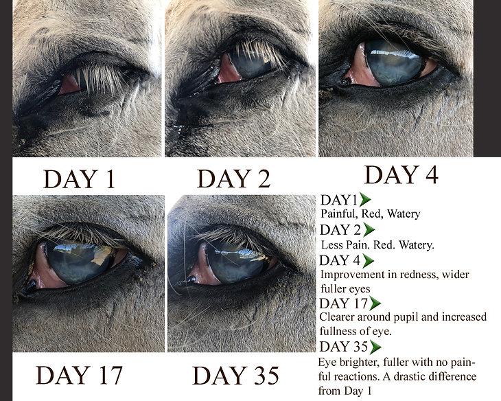 Moon-blindness-in-horses-case-study.jpg