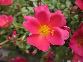 s-08-06-15-red-portulaca.jpg