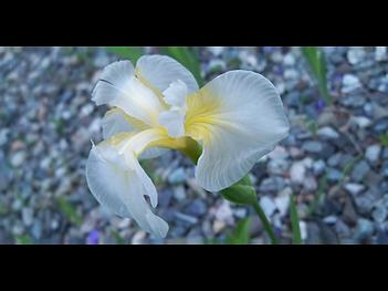 lindseym - iris1.png