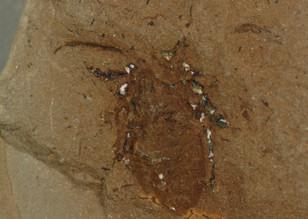 Spider  Architarbus rotundatus Mazon Creek, Illinois