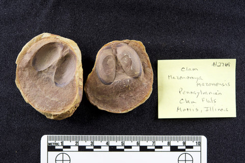 Clam Mazonomya mazonensis  Clam Flats Morris, Illinois