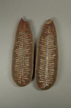True Fern Lobatopteris lamuriana  Greer School Diamond, Illinois