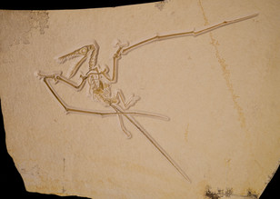 Pterosaur   Rhamphorynchus muensteri  Eichstätt, Germany