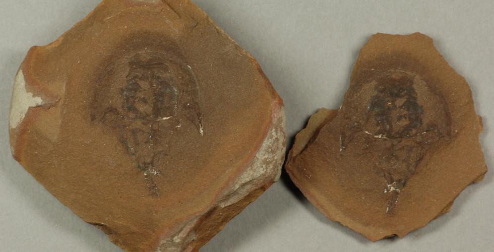 Horseshoe Crab  Paleolimulus sp. Braidwood, Illinois