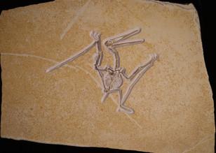 Pterosaur   Pterodactylus antiquus  Eichstätt, Germany