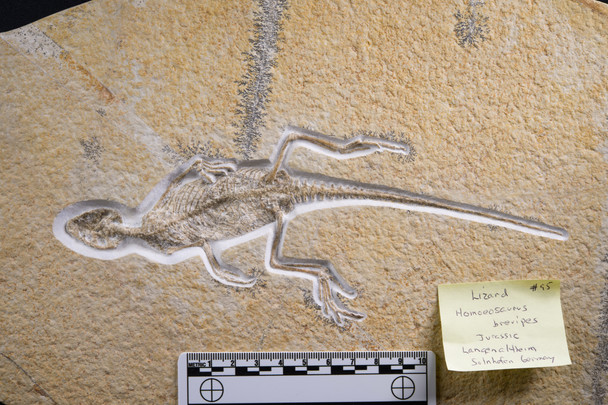 Lizard  Homeosaurus brevipes Solnhofen, Germany