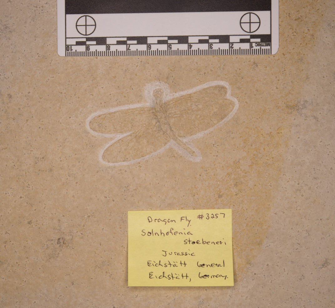 Dragon Fly Solenhofenia stoebeneri  Eichstätt, Germany
