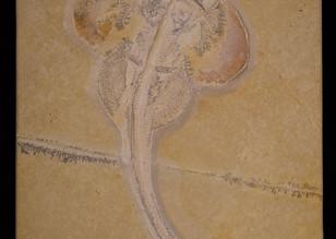 Shark  Pseudorhina alifera   Eichstätt, Germany